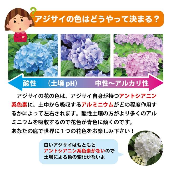 紫陽花の花色の仕組み