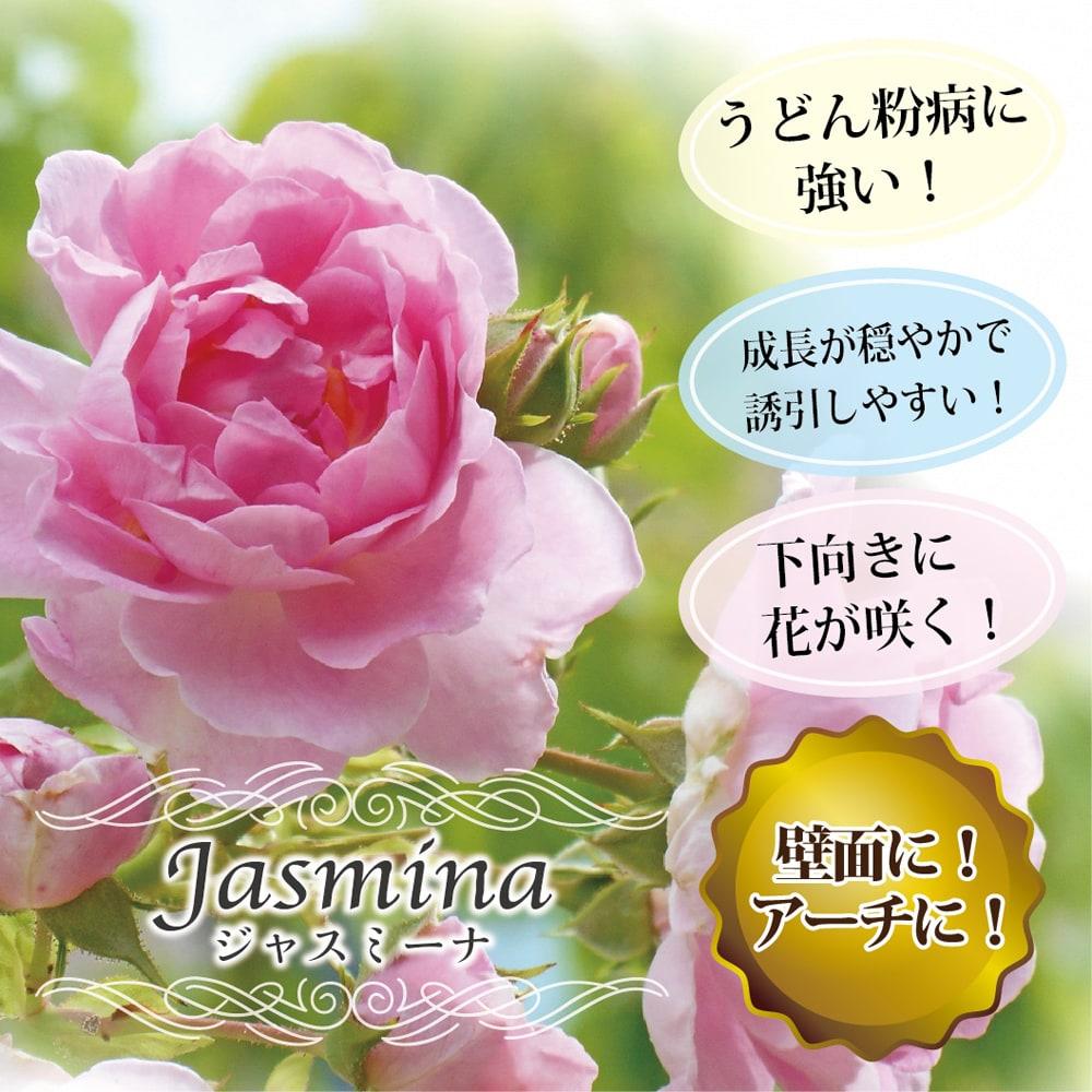 バラ ジャスミーナ 1