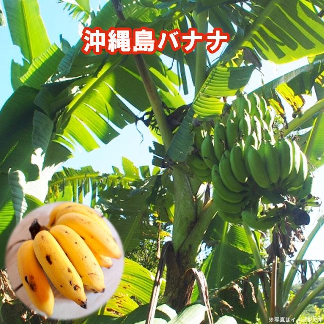 バナナ 沖縄島バナナ 1