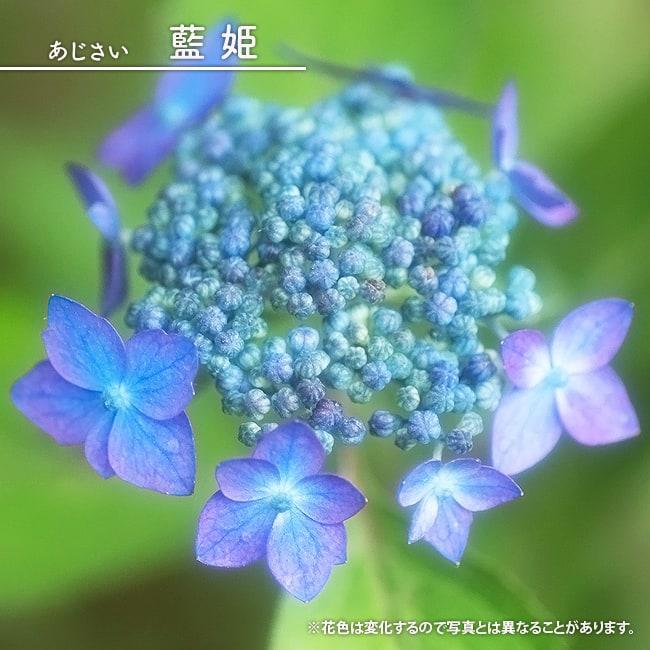 アジサイ 藍姫 フクリン斑 3