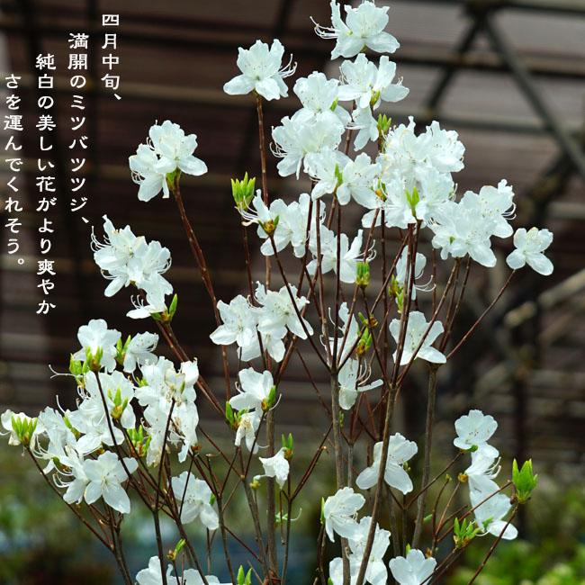 白花ミツバツツジ