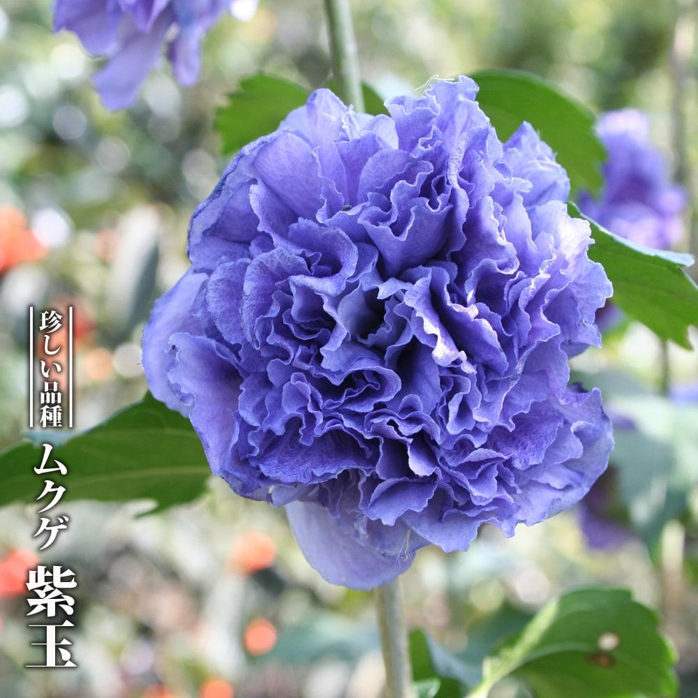ムクゲ 紫玉 の花