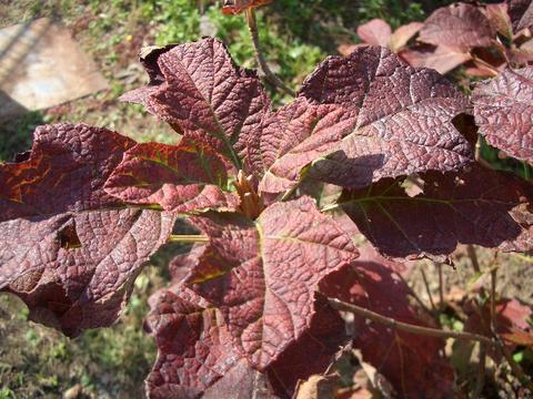 アジサイ の紅葉