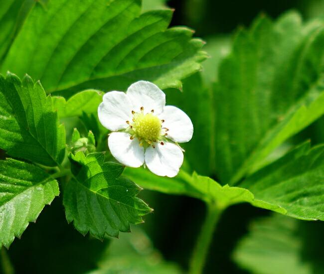 ワイルドストロベリー 白い花