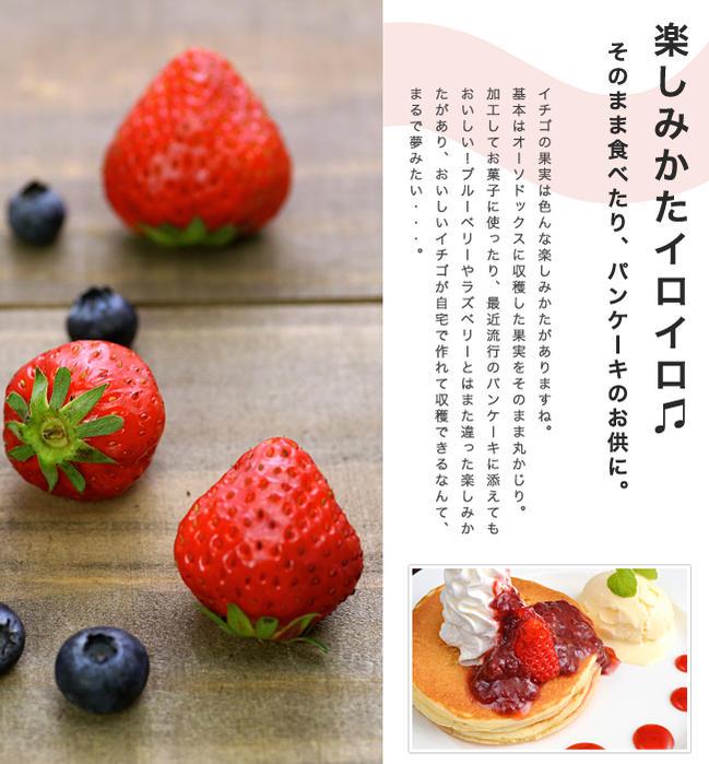 イチゴ カレンベリー 4