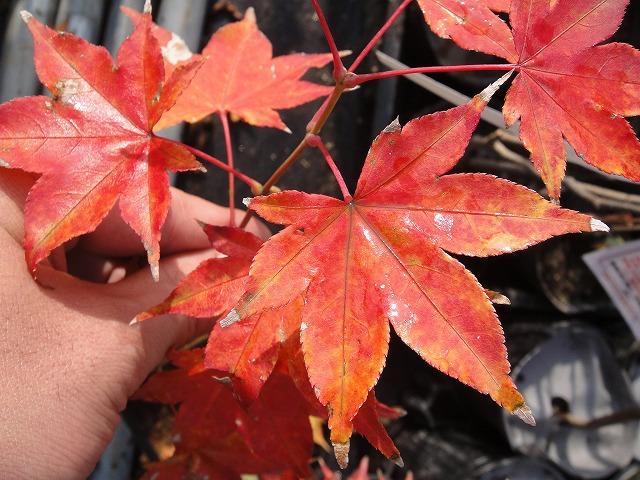サツキベニの紅葉(クリックすると拡大表示します)