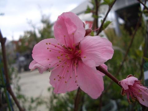 モモ の花