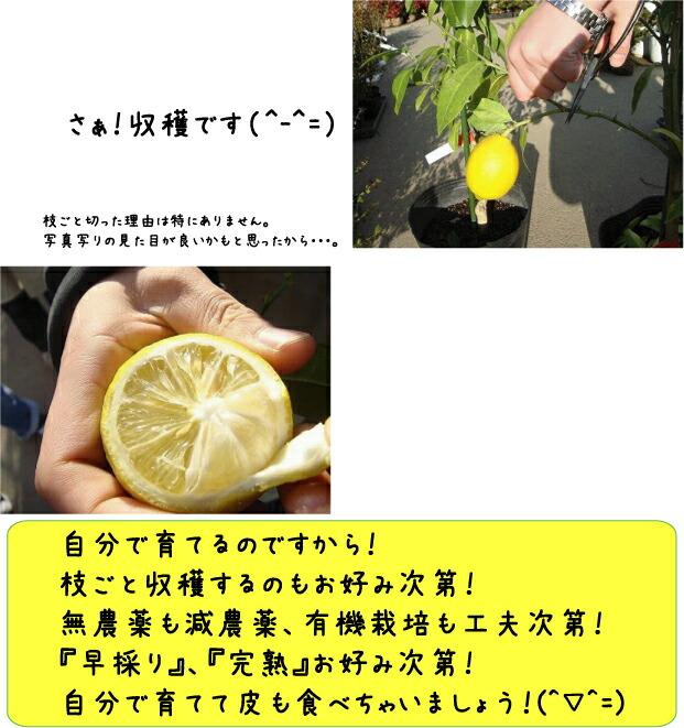 柑橘 選抜大実アレンユーレカ 4