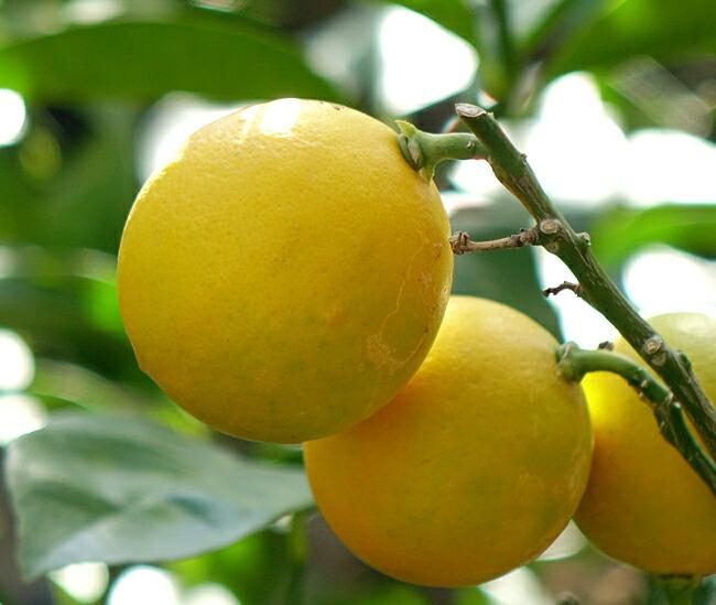 柑橘 マイヤーレモン 3