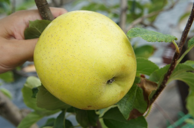 リンゴ シナノゴールド