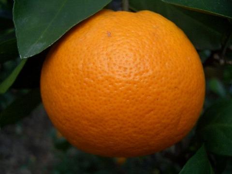 柑橘みかん