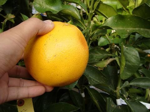 マーシュの果実