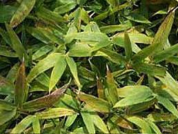 コグマ笹の葉