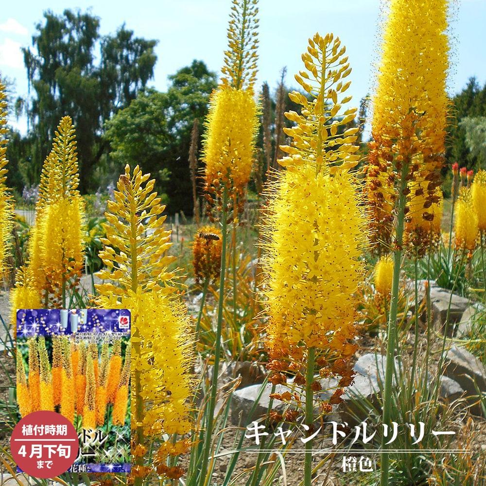 キャンドルリリー 橙花種