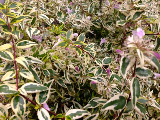 常緑低木 アベリア ホープレイズ