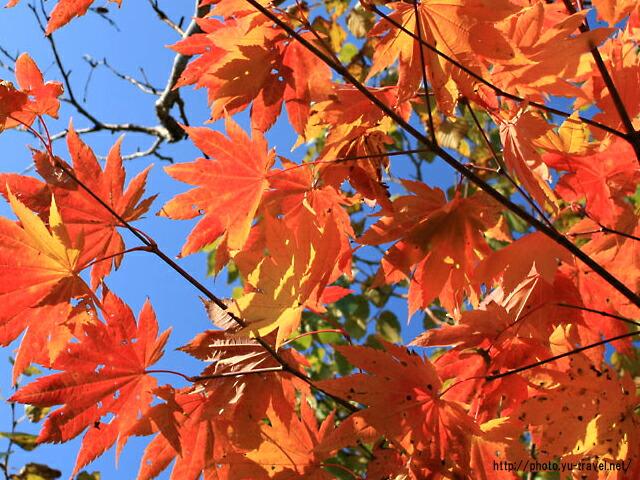 秋空に映えるイロハモミジ(クリックして拡大表示します)