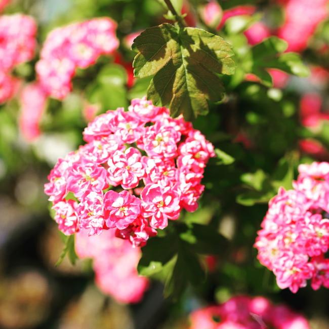 紅花サンザシ(メイフラワー)