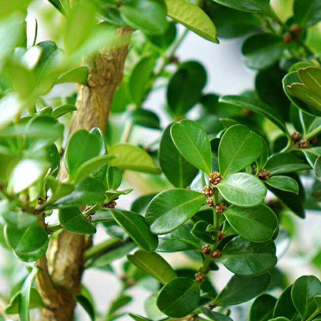 ボックスウッドの新緑と花芽