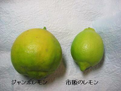 ジャンボレモンの大きさ