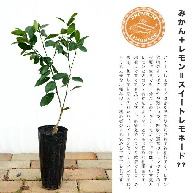柑橘 スイートレモネード 4