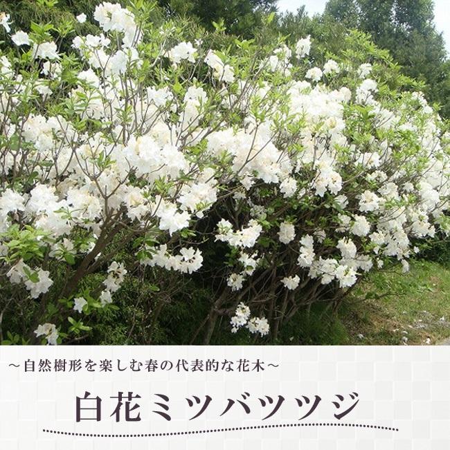 ツツジ 白花 ミツバツツジ