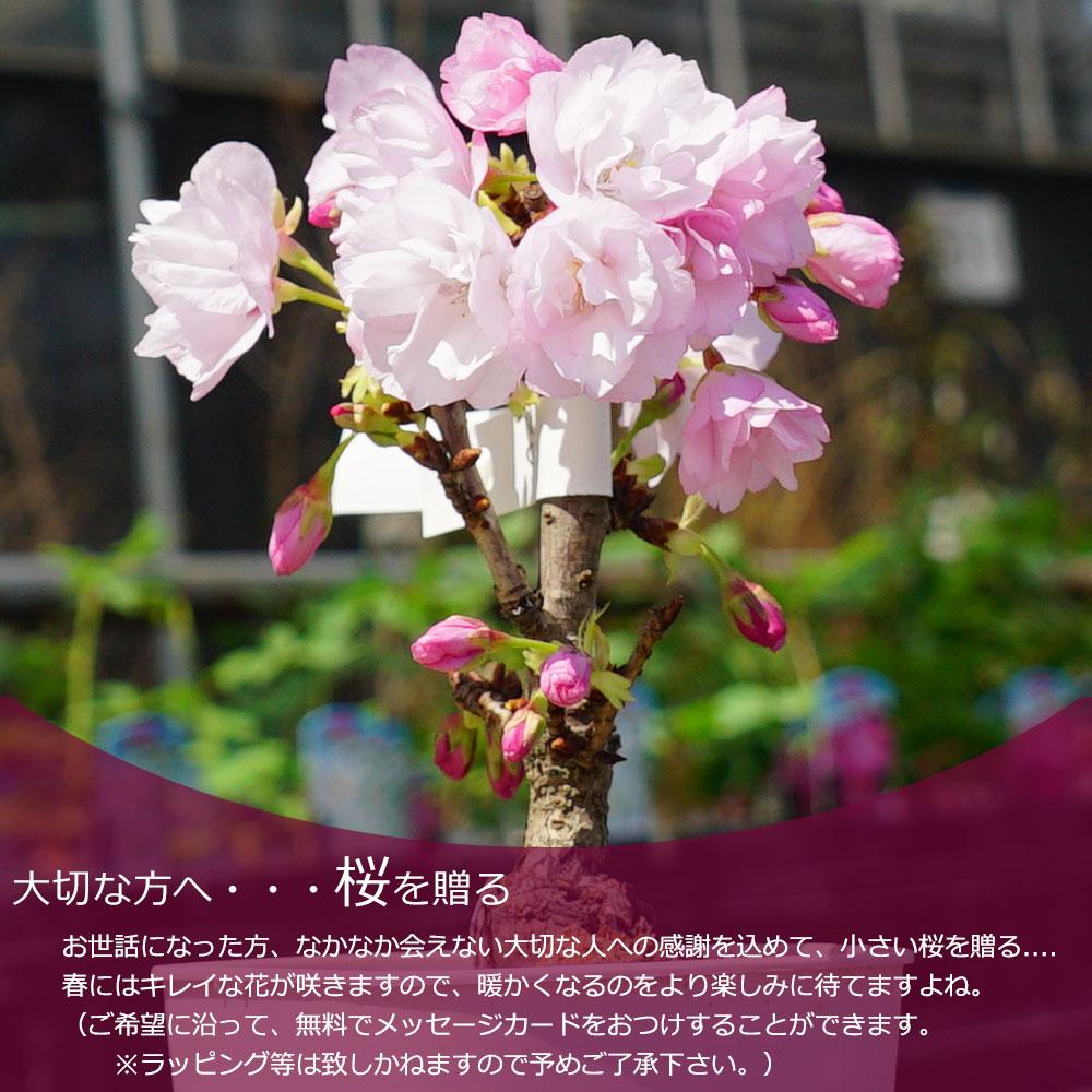 さくら 旭山桜 5