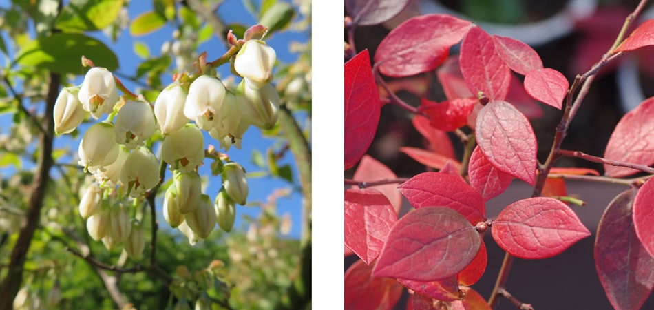 ブルーベリー 魅力 花 紅葉