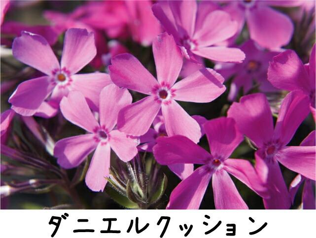 芝桜 ダニエルクッション 2