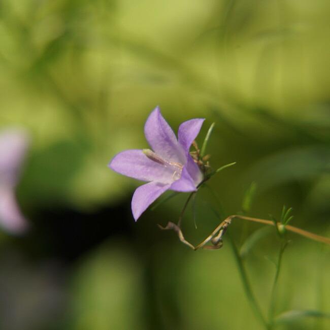 カンパニュラ ロツンディフォリアの花