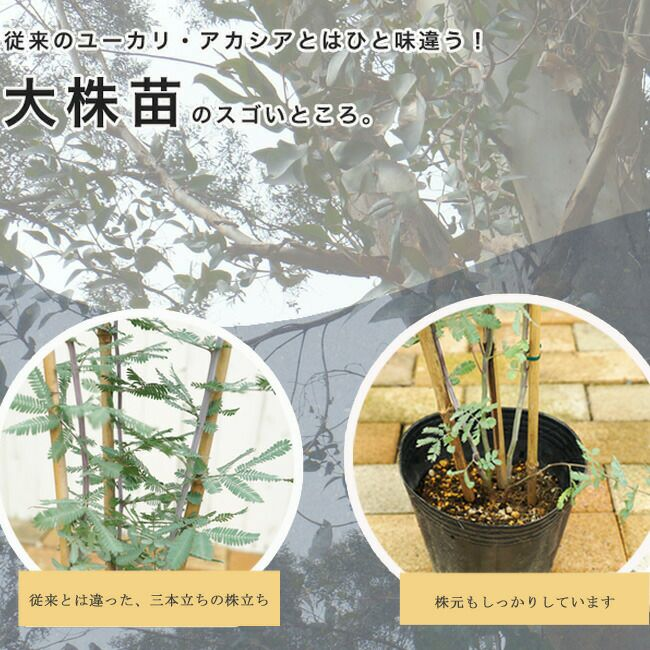 ユーカリ,アカシアの木 大株苗 (常緑樹)