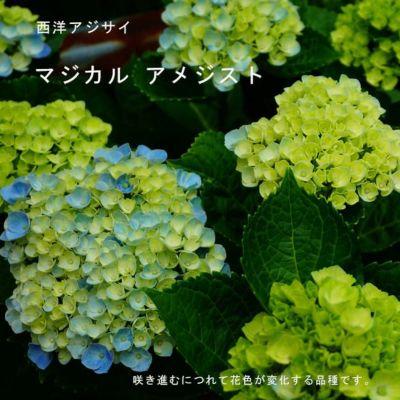 安行 四季咲き